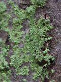 Изображение растения. Автор - Владимир Брюхов