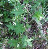 Geranium divaricatum