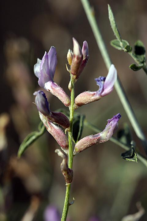 Изображение растения Astragalus macrocladus.