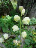 Aconitum seravschanicum