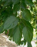 жостер слабительный ботаническое описание