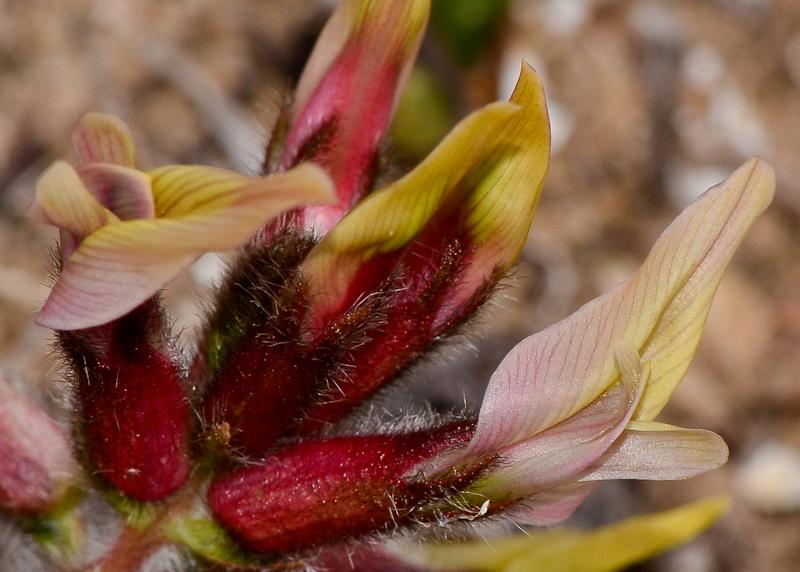 Изображение растения Astragalus berytheus.