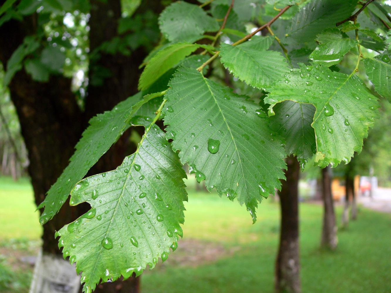 имеются дерево вяз фото и описание оригинальные