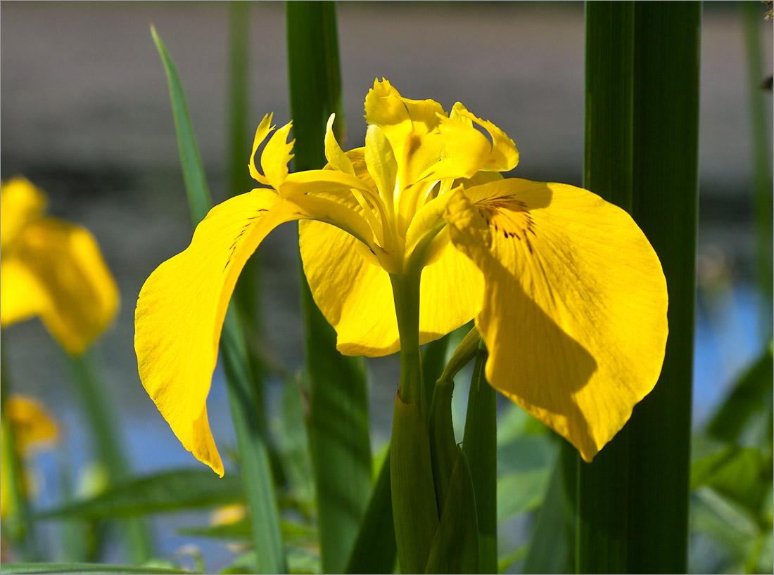 Ирис ложноаирный (Iris pseudacorus). Автор фото: Мария Новикова