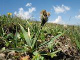Carex melanantha