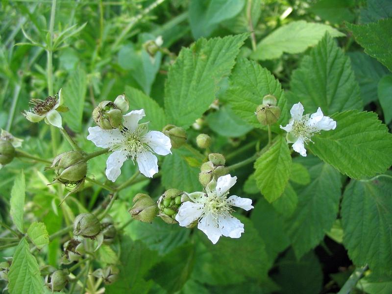 Ежевика обыкновенная (Rubus caesius). Автор фото: Сергей Козлан