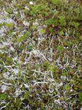 Thamnolia vermicularis
