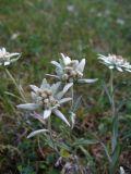 Leontopodium fedtschenkoanum