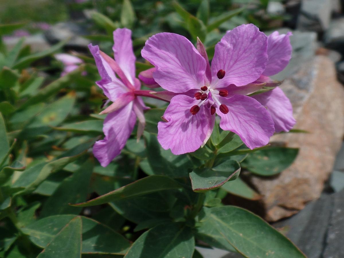 Иван-чай широколистный (Chamaenerion latifolium). Автор фото: Ольга Кузнецова