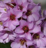 http://www.plantarium.ru/dat/plants/4/466/430466.jpg?465af61a