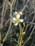 Lepidium turczaninowii