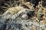 Orostachys spinosa