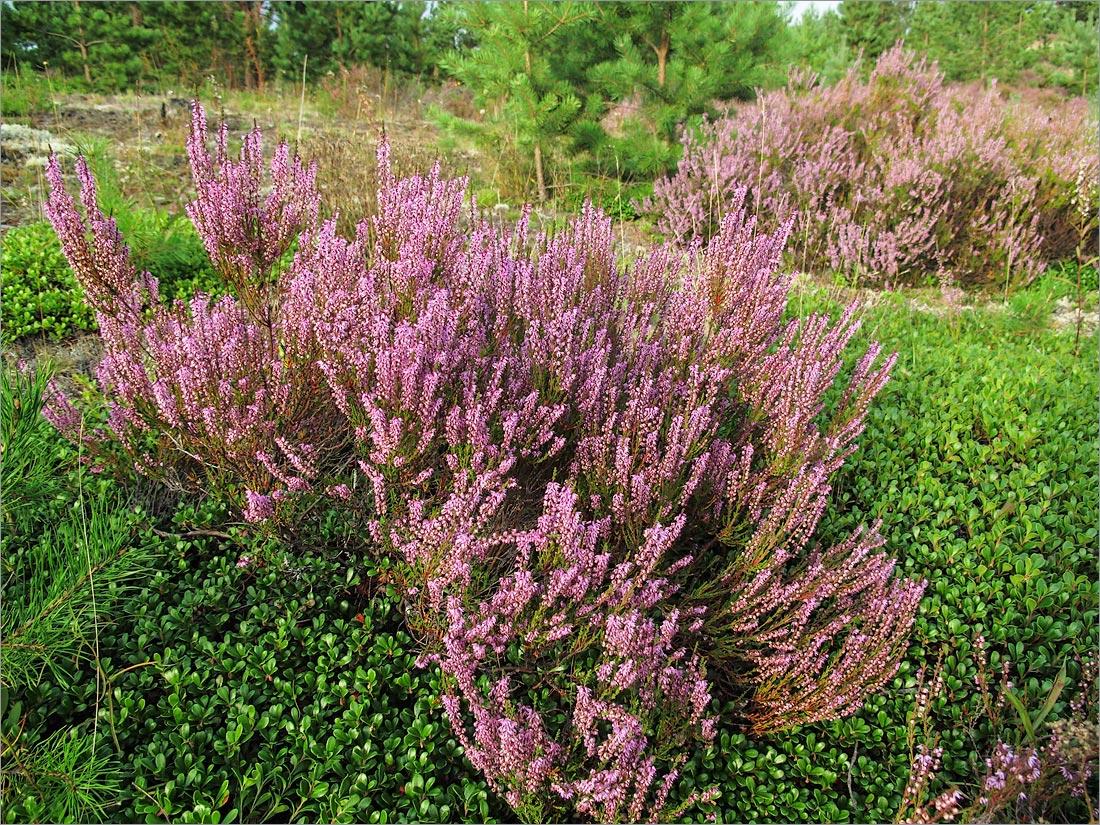 Вереск обыкновенный (Calluna vulgaris). Автор фото: Мария Новикова