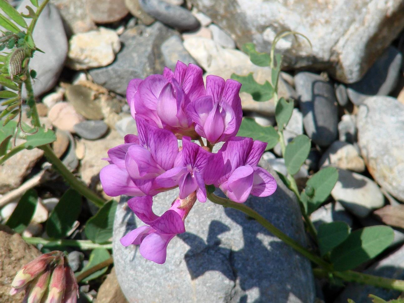 Изображение растения Vicia olchonensis.