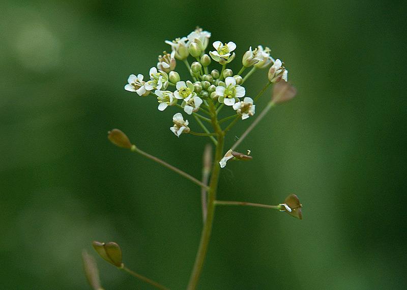 81a22430c85b Пастушья сумка обыкновенная (Capsella bursa-pastoris)