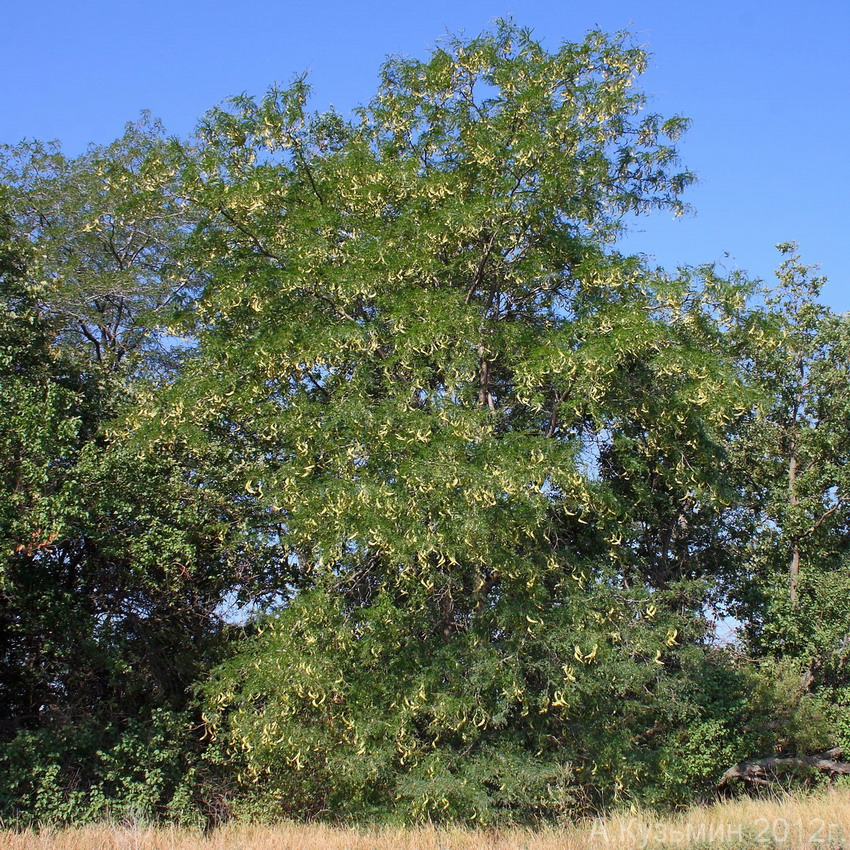 Гледичия трёхколючковая (Gleditsia triacanthos)