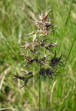 Poa bulbosa ssp. vivipara