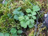 Adoxa orientalis