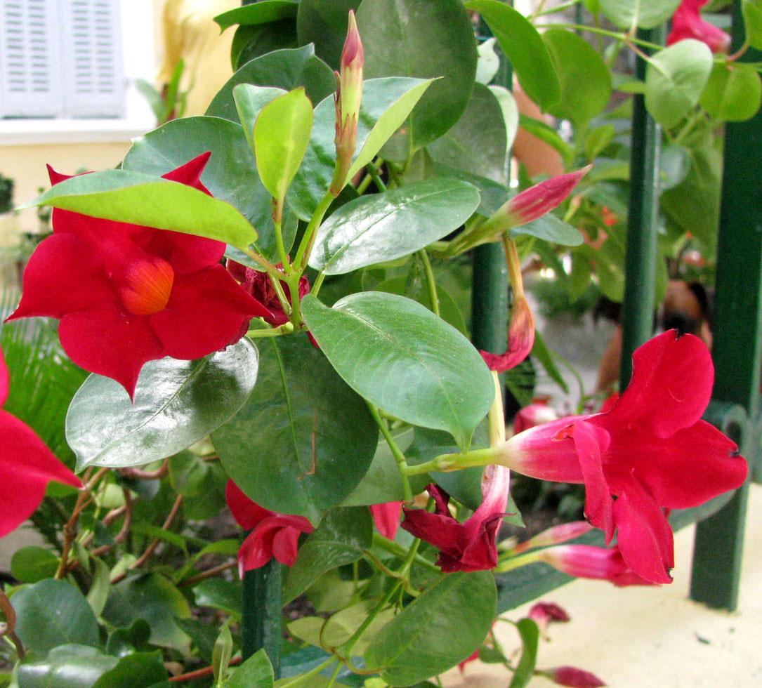 Растения и цветы: Как прорастить черенок от лопаты или раз в год и палка стреляет