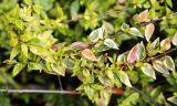 Abelia × grandiflora