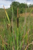 Typha intermedia