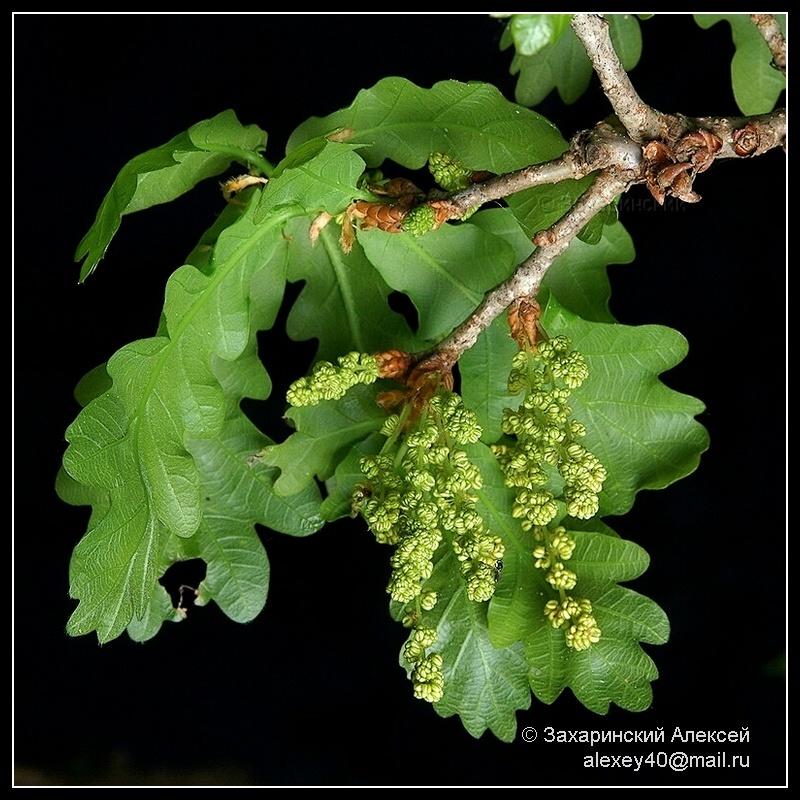 Дуб черешчатый (Quercus robur). Автор фото:Алексей Захаринский