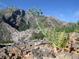 Oedibasis apiculata