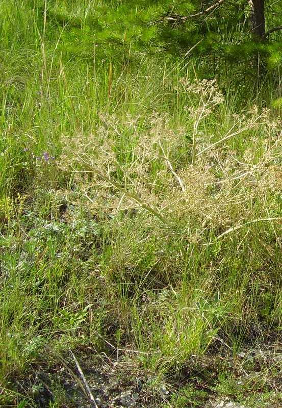 Изображение растения Crambe litwinowii.