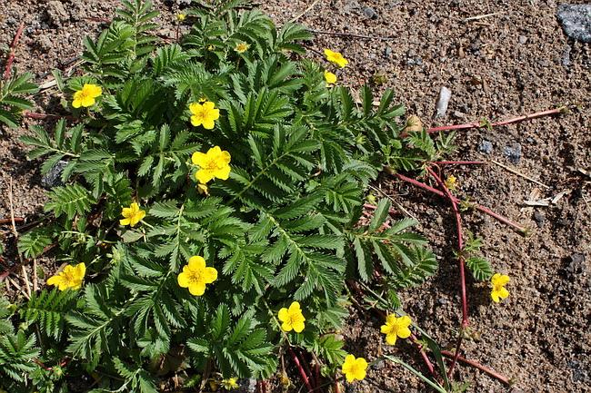Цветущее растение на обочине дороги