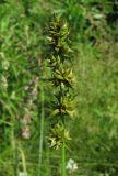 Carex polyphylla