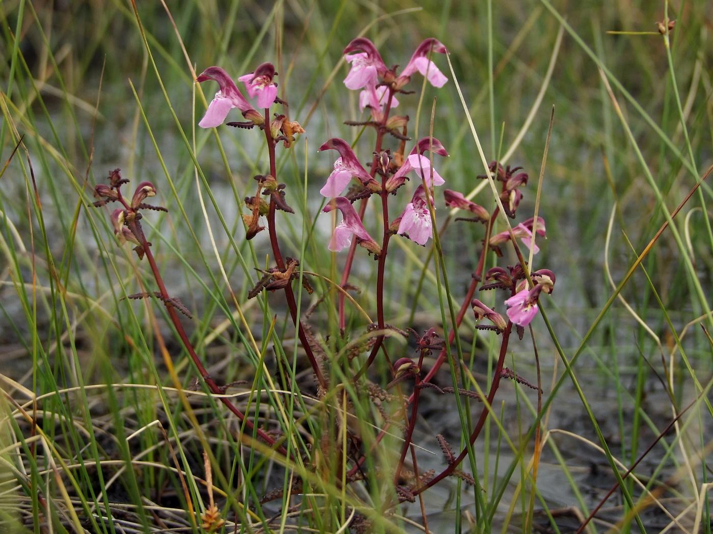 ягода вид болотные растения дальнего востока фото запрос кавычки дикий