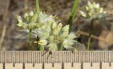 Allium marschallianum