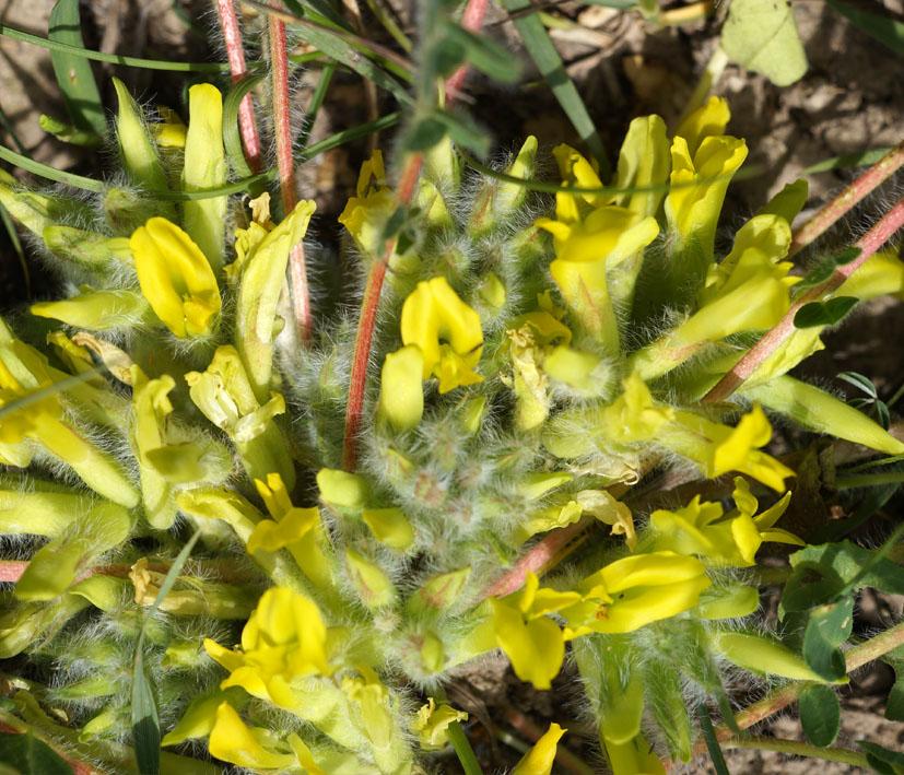 Изображение растения Astragalus andaulgensis.