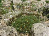 Arenaria pseudacantholimon