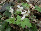Viola scotophylla