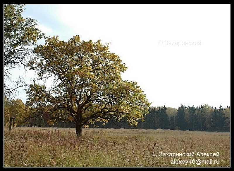 Дуб черешчатый (Quercus robur). Автор фото: Алексей Захаринский