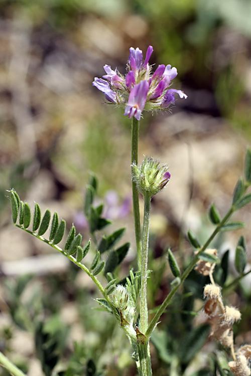 Изображение растения Astragalus sesamoides.