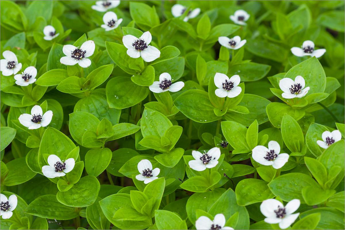Дёрен шведский (Chamaepericlymenum suecicum) Автор фото: Мария Новикова