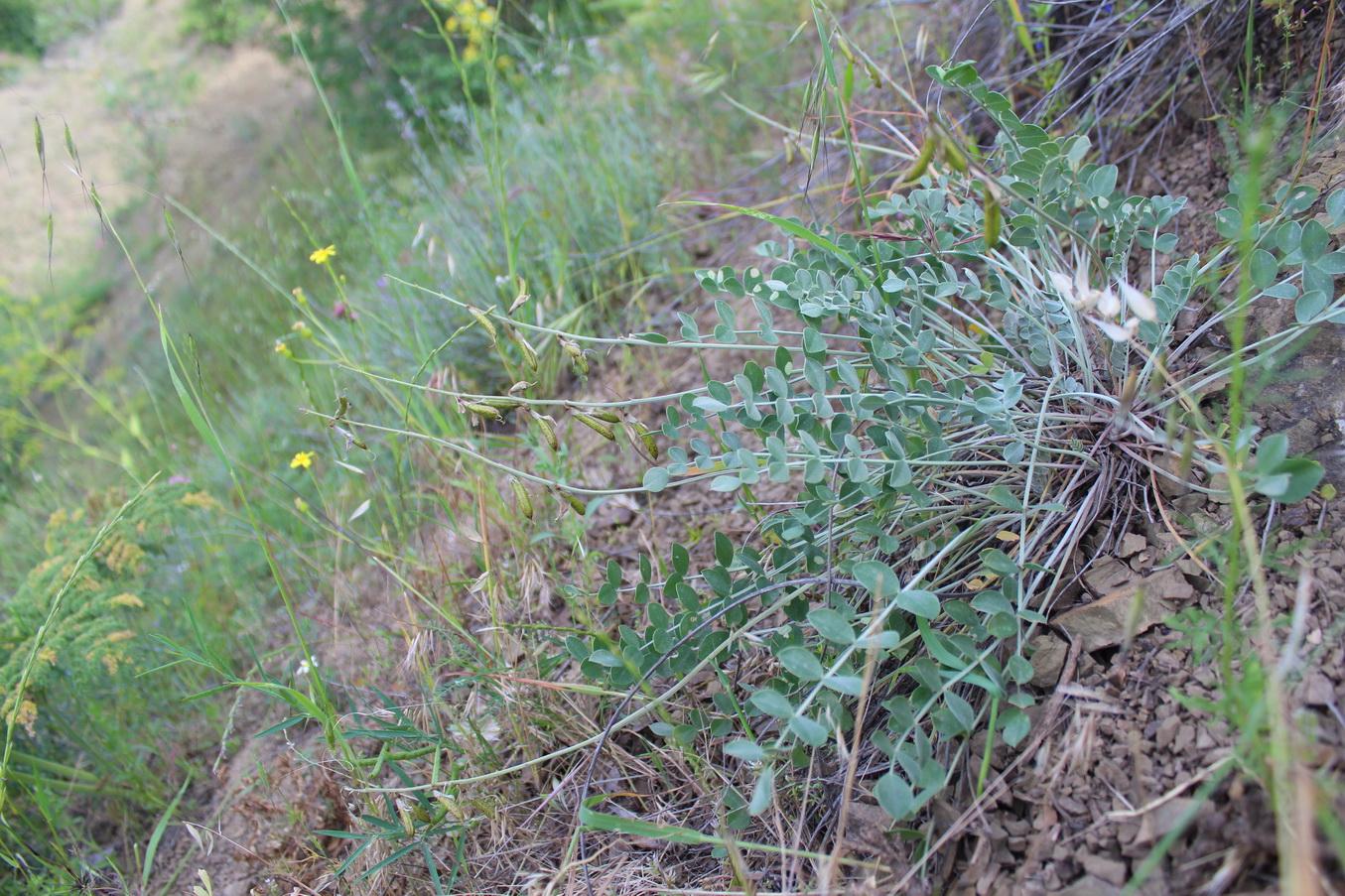 Изображение растения Astragalus ackerbergensis.