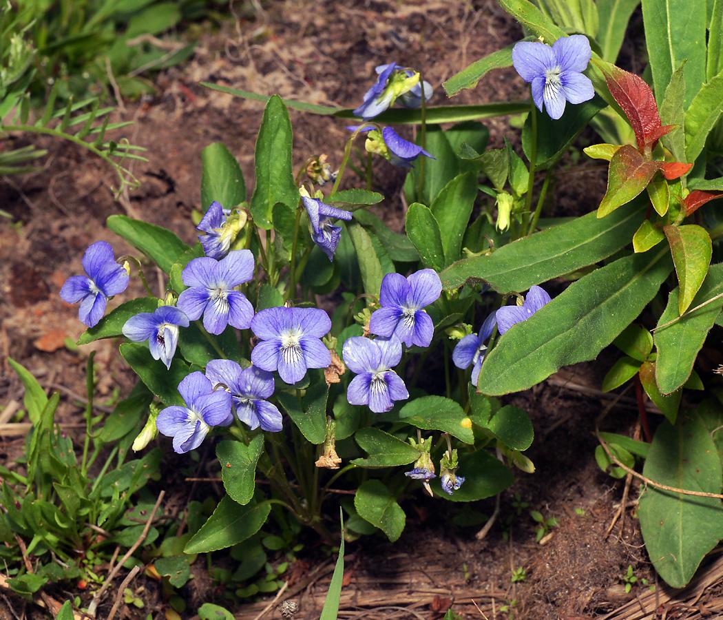 Фиалка собачья (Viola canina). Автор фото: Виталий Гуменюк