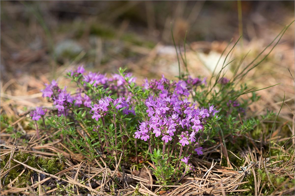 Тимьян ползучий (Thymus serpyllum). Автор фото: Мария Новикова