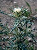 Cirsium turkestanicum