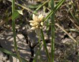 Bolboschoenus popovii