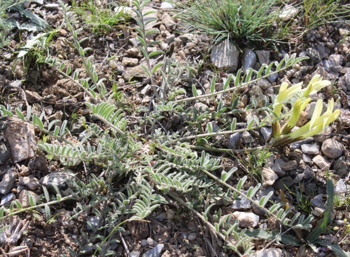 Изображение растения Astragalus macropetalus.