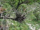 Juniperus oblonga