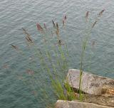 Calamagrostis korotkyi