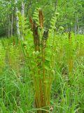 Osmundastrum asiaticum