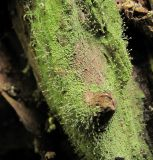 Chaenotheca furfuracea