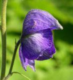 Aconitum delphiniifolium