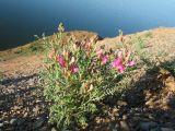 Eversmannia subspinosa